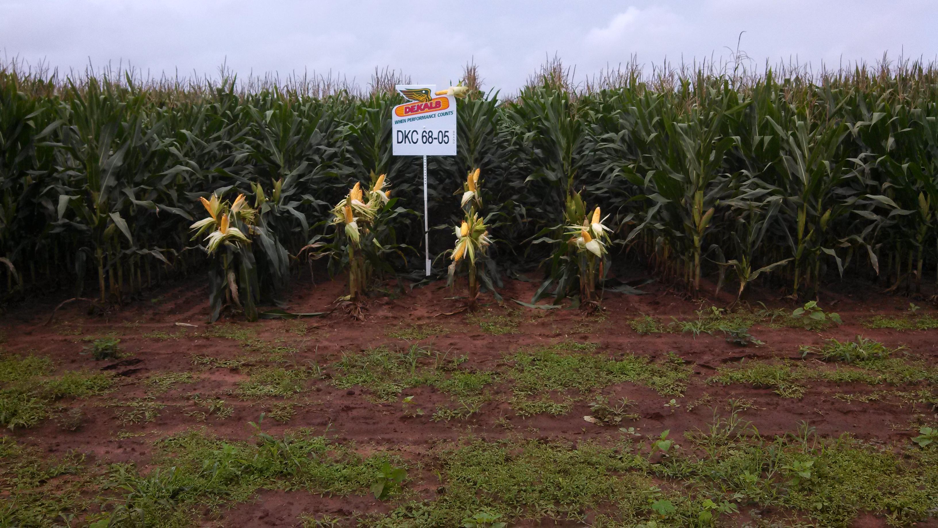 Field Corn Field Day 2013